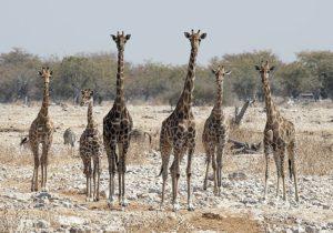 Oplev giraffer